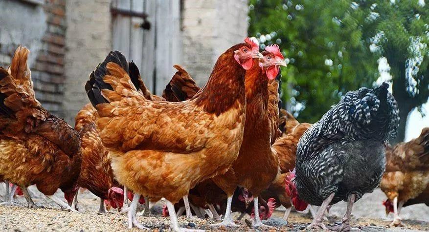 June-newsletter_chickens.jpg